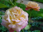 Historic Gardens roses