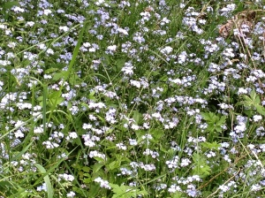 Forget-me-nots in Lover's Lane