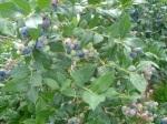 Nova Scotia blueberries