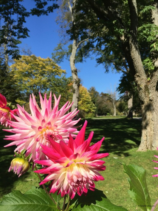 dahlias and trees