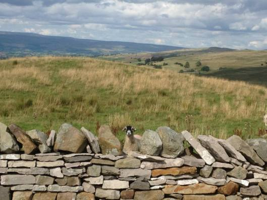 stone wall and sheep