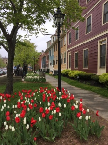 Tulips on Great George Street, Charlottetown