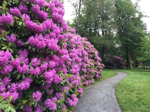 Rhododendrons in the Halifax Public Gardens