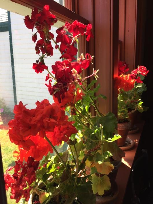 Geraniums at Green Gables