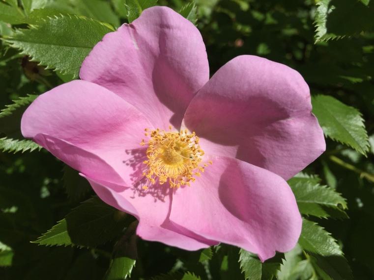 Wild rose, Green Gables, Cavendish, PE