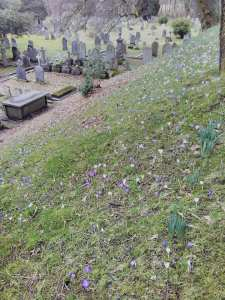 Crocuses in Ambleside churchyard