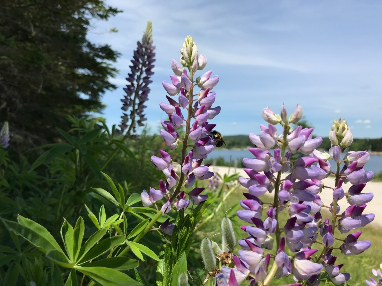 Lupines at Graves Island Provincial Park